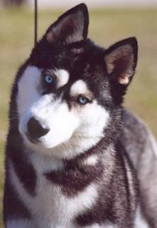 Traditional Siberian Husky Dog Names