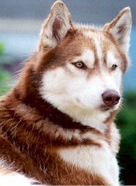 Copper Siberian Husky Page - Colors of the Siberian Husky