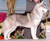 http://www.huskycolors.com/images/grey/GreyGunner.jpg