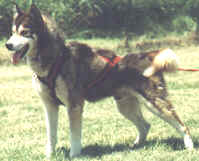 Willo's Leif Ericson, S.D.X. (Sled Dog Excellent)