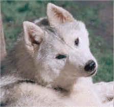 Kaila's Silken Teddy - Karamad Siberians