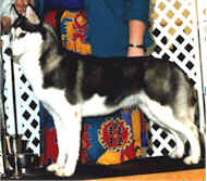Ch. Shadowfox's Splash Dancer - Kossok Siberians - Oregon, USA