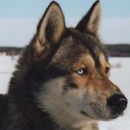 A Guide To The Colors Of The Siberian Husky