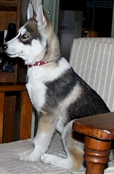 Colors Of The Siberian Husky Wolf Grey Siberian Huskies